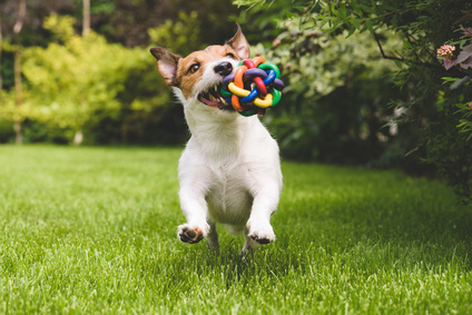 happy jack russell terrier with toy