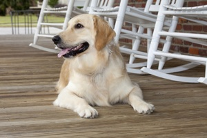 golden lab on porch